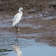 2433-little-egret-devon-200913