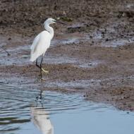 2433-little-egret-devon-200913