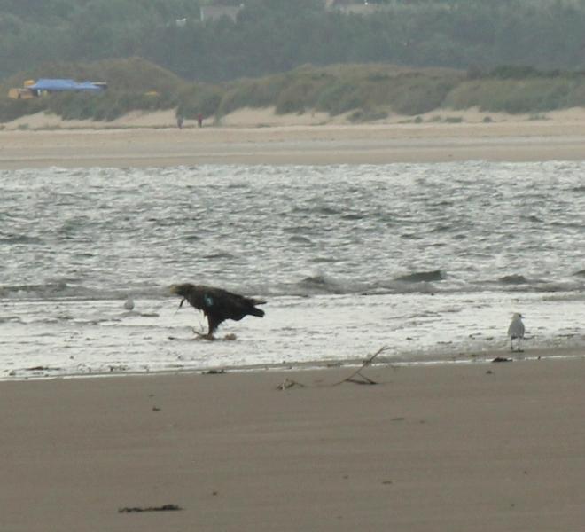sea-eagle-cropped