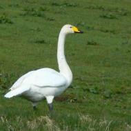 whooper-swan-2