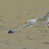 Herirng Gull