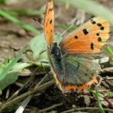 small-copper-5