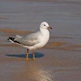 Immature Silver Gull