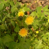 smooth-sow-thistle