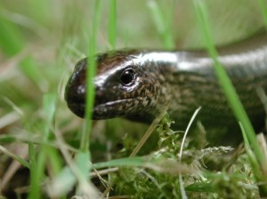 legless lizard, slow worm