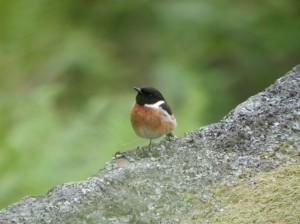 Male stonechat