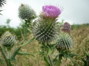 Mull, Thistle competion, think I won