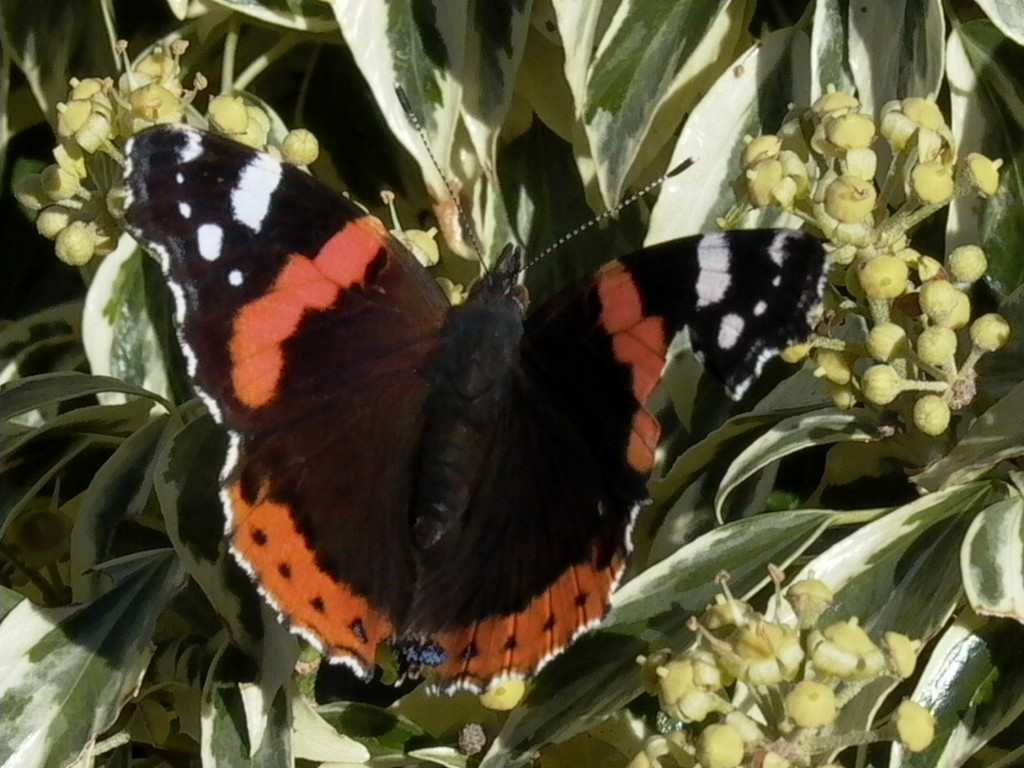 red-admiral1-1024x768.jpg