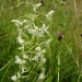 lesser-butterfly-orchid-150x150.jpg