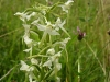 lesser-butterfly-orchid1-768x1024.jpg
