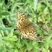 small-pearl-bordered-fritillary-crop.jpg