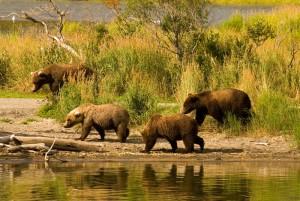 Lotsa bears